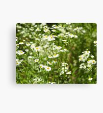 Herbs on the lawn - small white camomile flowers Canvas Print
