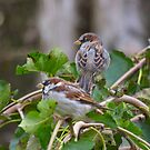 pair of sparrows by Barry W  King