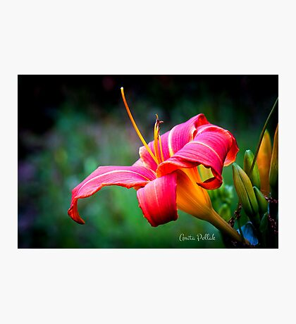 Red Daylily Photographic Print