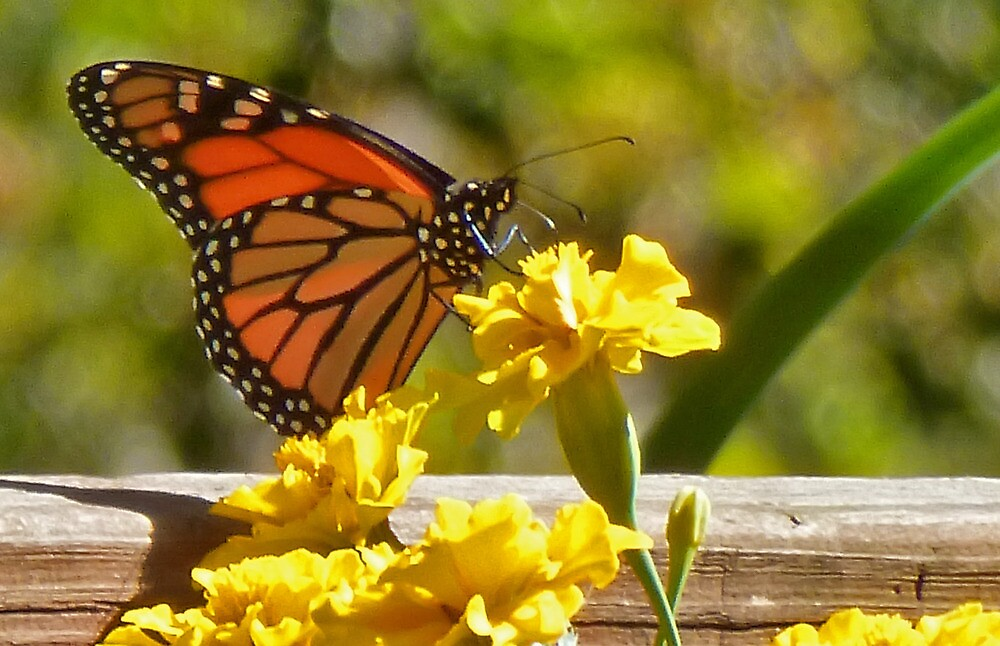 Monarch in the Marigolds by Nadya Johnson