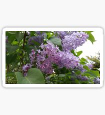 Lilac Blooms Sticker