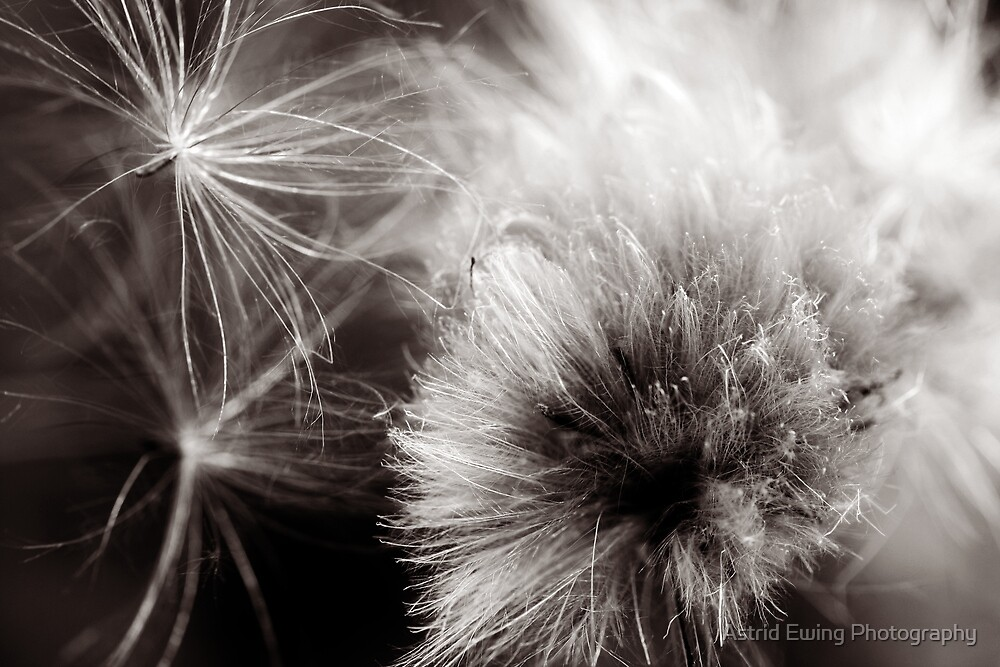 Gone to seed by Astrid Ewing Photography