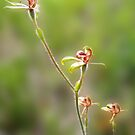 Antelope orchid, Caladenia discoidea by JuliaKHarwood