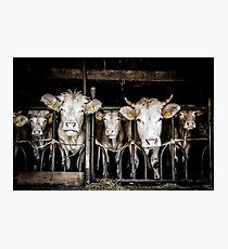 Cows! Photographic Print