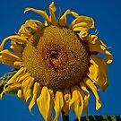 Sunflower by MarekM