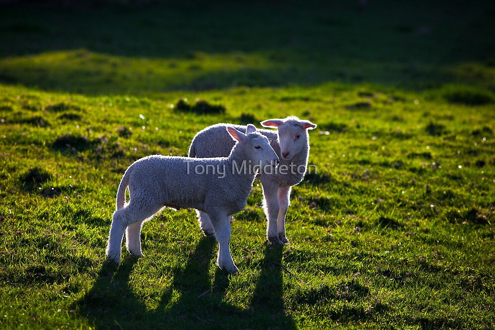 Spring lambs by Tony Middleton