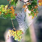 Cedar Web by Don Rankin