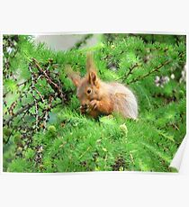 The squirrel on larch Poster