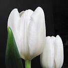 Tu Tulips by Gloria Abbey