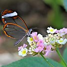 Glasswing on Flower by dilouise
