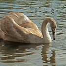 Juvenile Mute Swan by Robert Abraham
