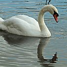 Adult Mute Swan by Robert Abraham