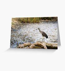 Night Heron, Immature Greeting Card