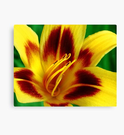 Yellow and Red Daylily Canvas Print