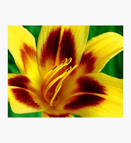 Yellow and Red Daylily Photographic Print
