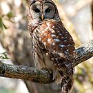 Barred Owl by Kathy Baccari