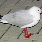 Seagull or Silver-Gull by Toni Kane
