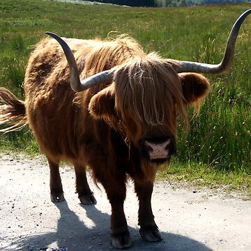 Highland Cow  by GCooles