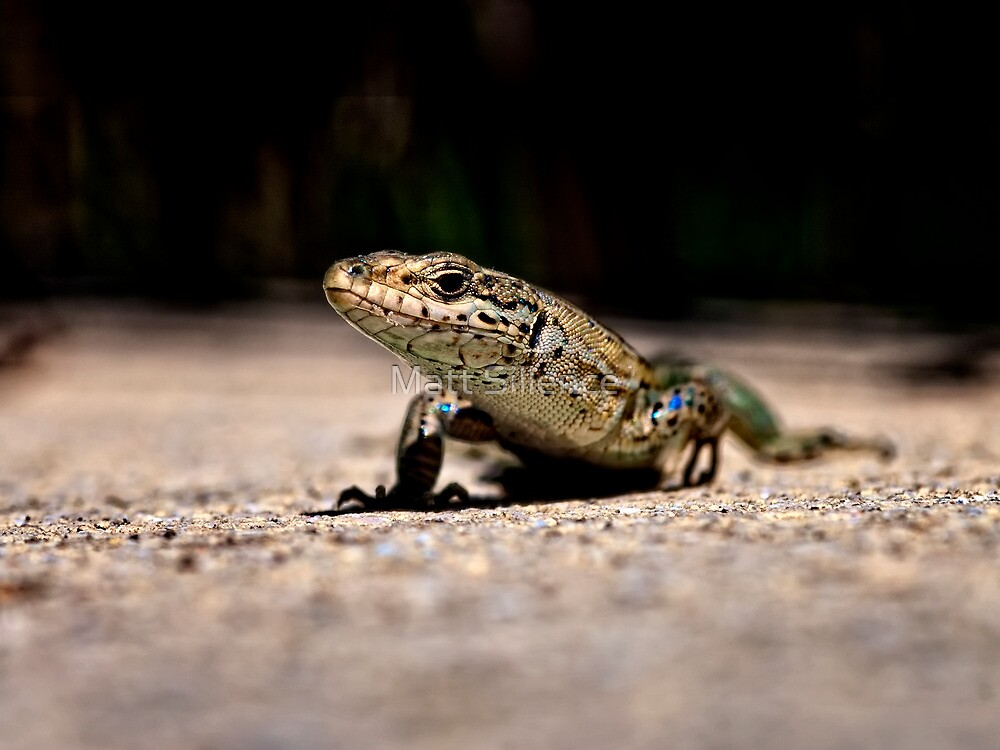 Lizard by Matt Sillence
