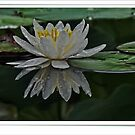 Floating Lily by lynell