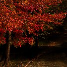 Autumn Red Maples by Bill Coughlin