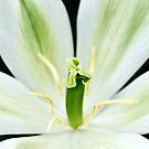 White Tulip by Alison Cornford-Matheson