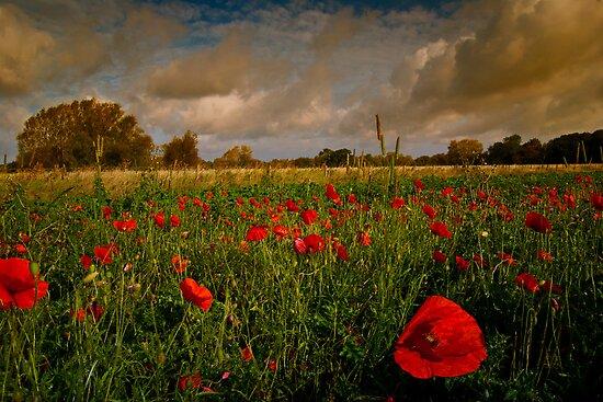 Poppy Field by ajgosling