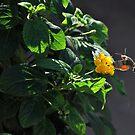 Hummingbird Hawk Moth. by Tigersoul