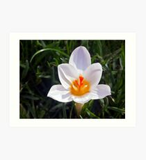 White Crocus Planted in the Lawn Art Print