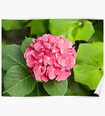 Pink Hydrangea Blossom Poster