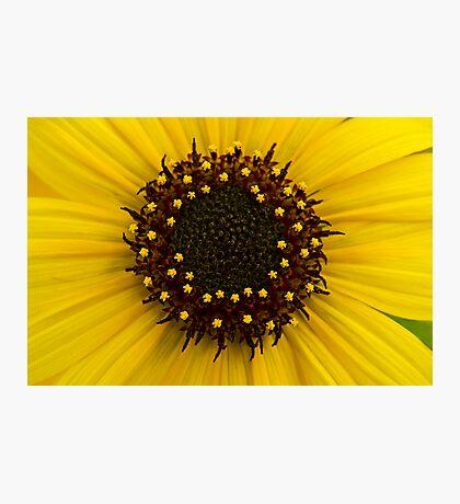 Southern Idaho Sunflower Photographic Print