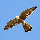 nankeen kestrel by birdpics