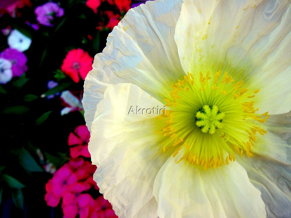 Peaceful Poppy by Akrotiri