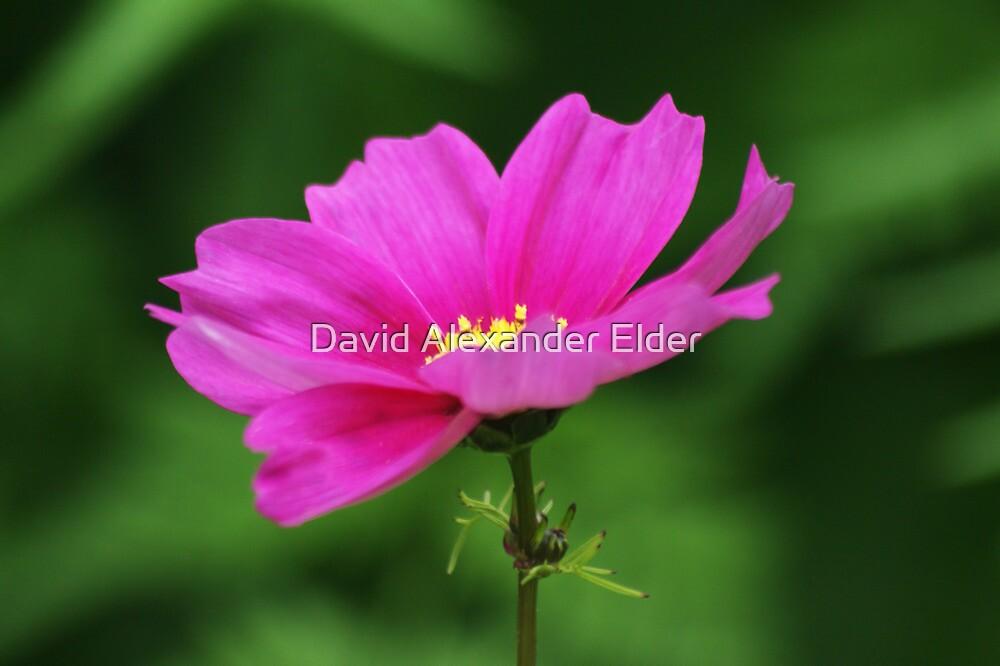 Pink Flower by David Alexander Elder