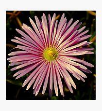 Daisy Sunbathing Photographic Print