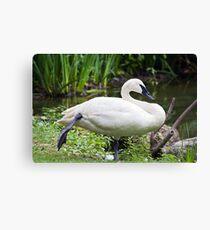 Trumperter Swan Standing At Rest Canvas Print
