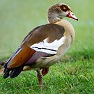 Egyptian Goose by George Lenz