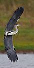 Grey Heron by Neil Bygrave (NATURELENS)