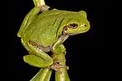 Green Tree Frog by JimGuy