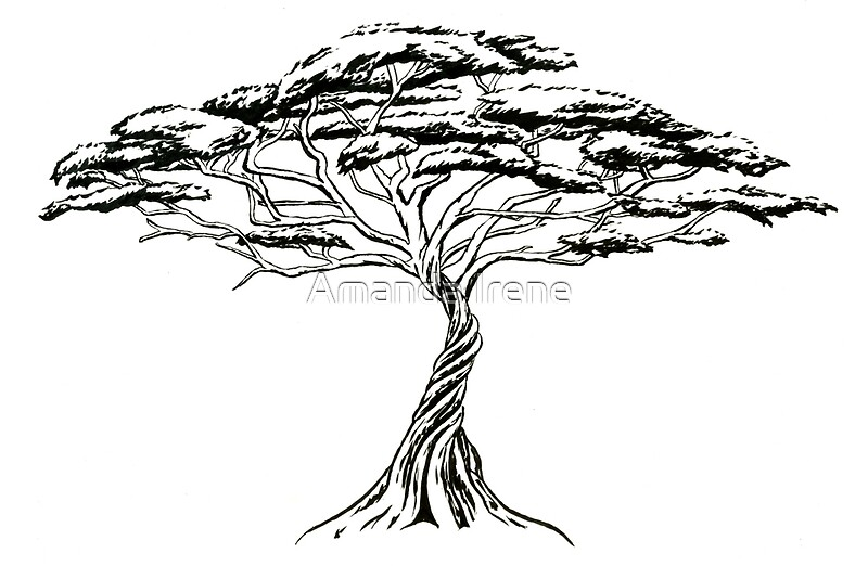 u0026quot whistling thorn   zen bonsai african tree black and white