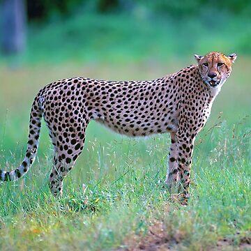 Cheetah by leksele