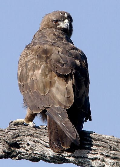 Juvenile Bataleur Eagle by Michael  Moss
