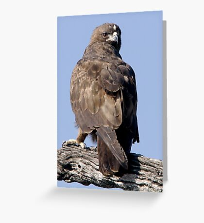 Juvenile Bataleur Eagle Greeting Card