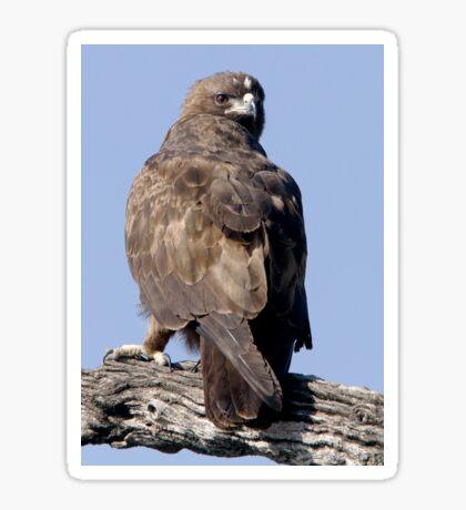 Juvenile Bataleur Eagle Sticker