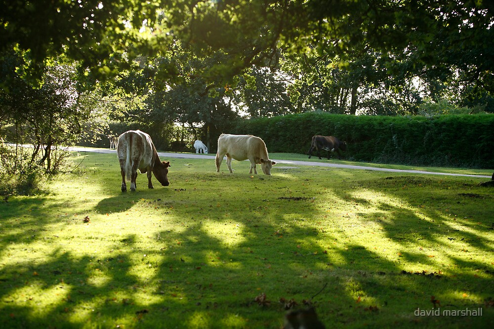 Cows grazing in New Forest by david marshall