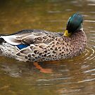 Duck preening - Eyeworth Pond, Hampshire by david marshall