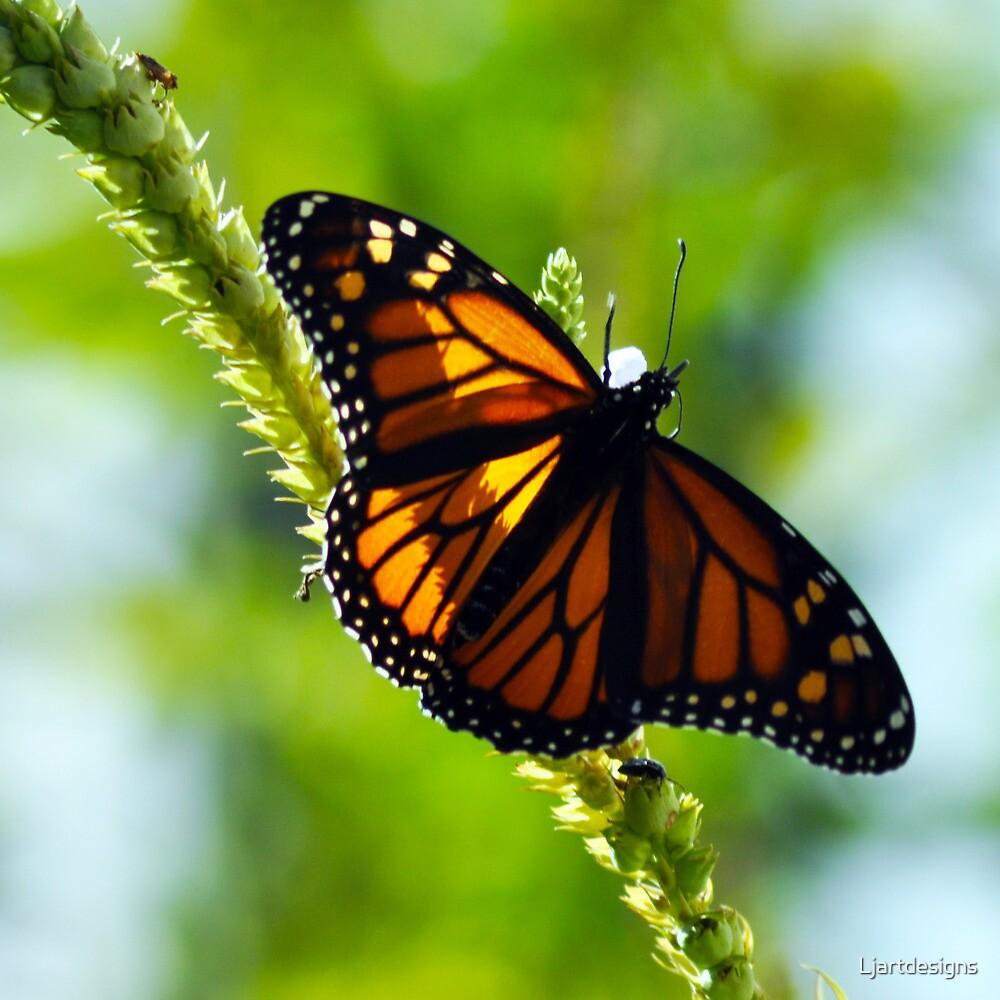 Monarch Butterfly by Ljartdesigns