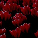 Tulips in red and black by Melissa Hillard
