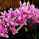 Orchid Spray by TonyCrehan