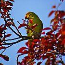 Parakeet in Sunbury Walled Garden by DExPIX